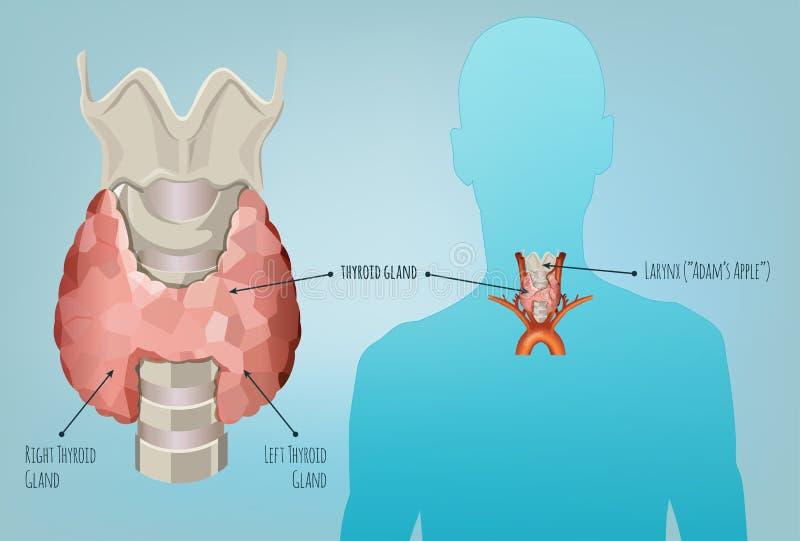 Immagine del sistema della tiroide illustrazione vettoriale