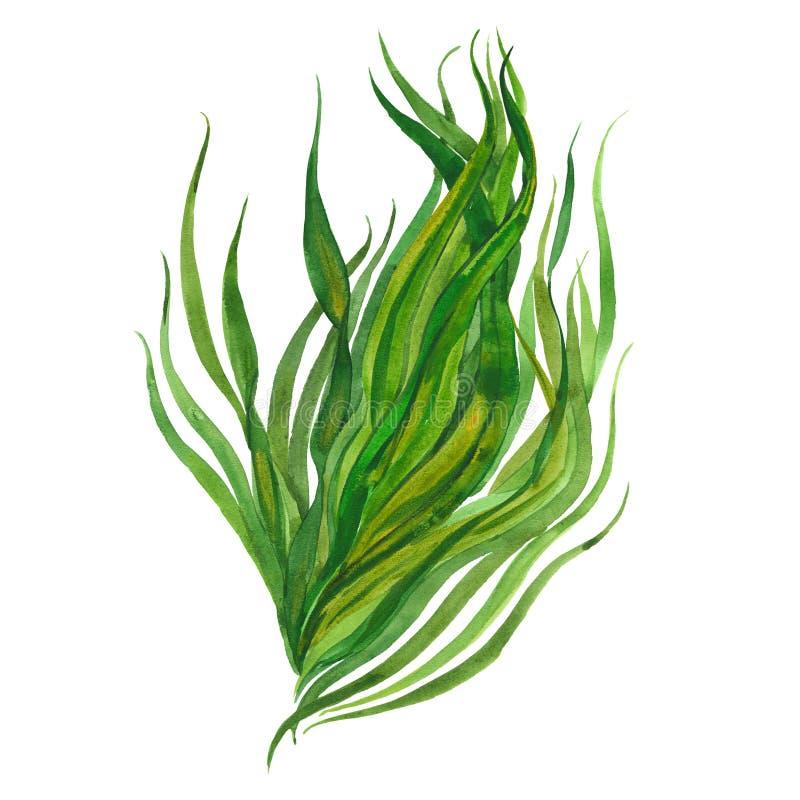Immagine dell'acquerello di alga illustrazione di stock