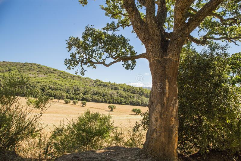 Immagine dell'albero di sughero con le foglie verdi e la campagna toscana fotografia stock