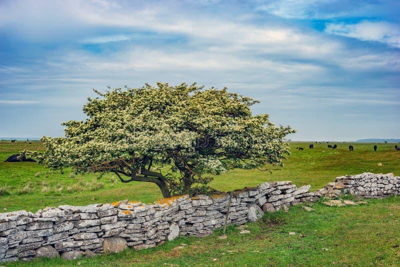 Immagine dell'albero solo in un campo con erba verde e cielo blu immagini stock libere da diritti