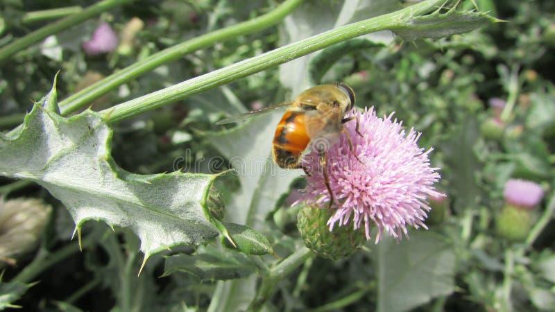 Immagine dell'ape di Honny immagine stock libera da diritti