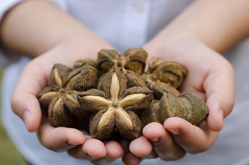 Immagine dell'arachide di inchi di sacha immagini stock