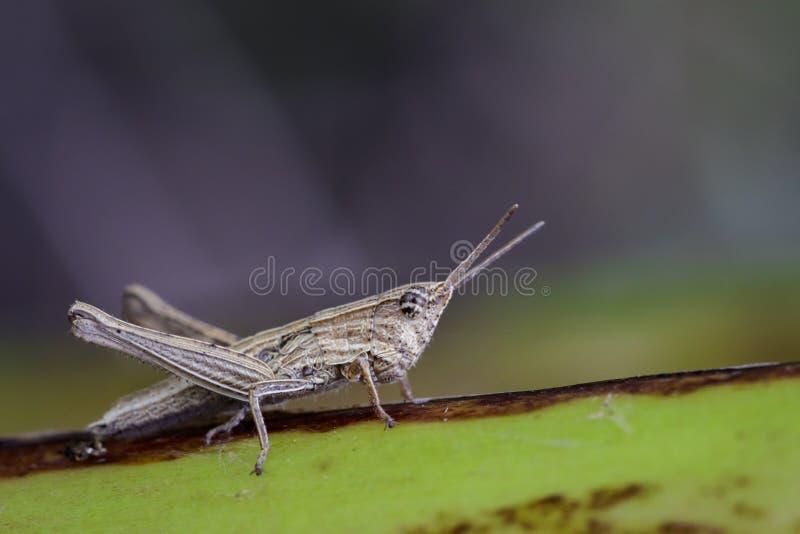 Immagine della locusta di Brown sulle foglie verdi insetto fotografia stock