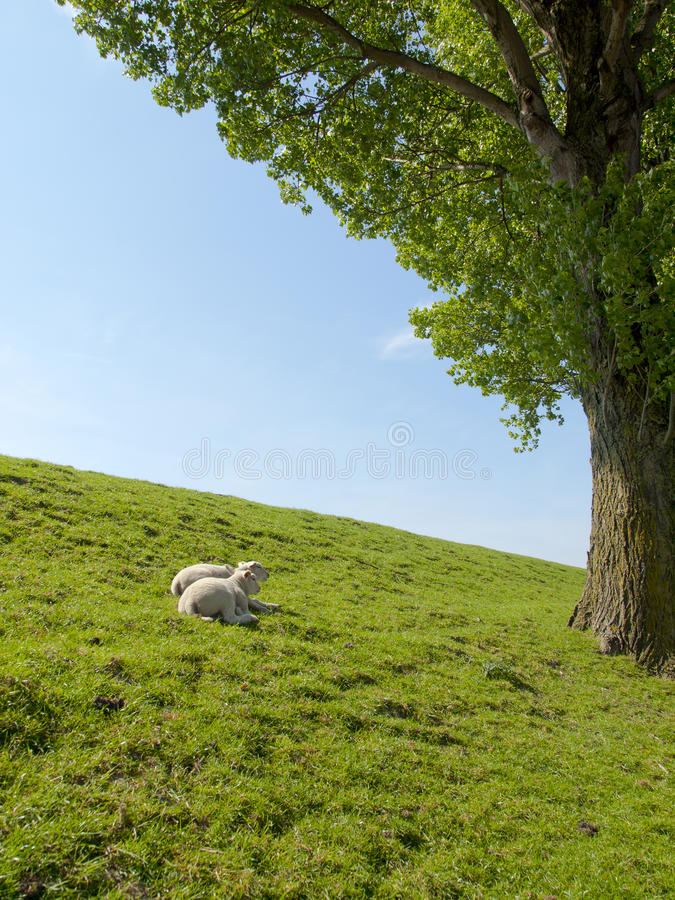 Immagine della primavera degli agnelli da latte di riposo fotografia stock