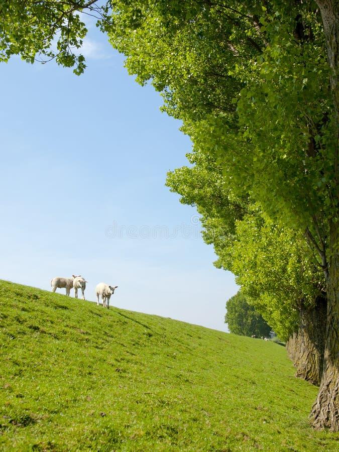 Immagine della primavera dell'agnello da latte fotografia stock libera da diritti