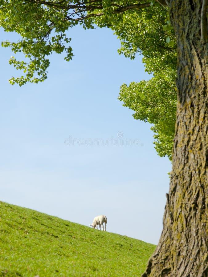 Immagine della primavera di un agnello da latte immagini stock