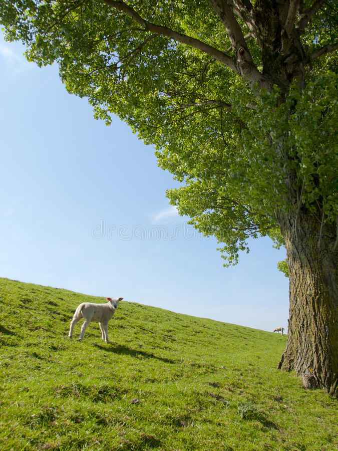 Immagine della primavera di un agnello da latte fotografia stock