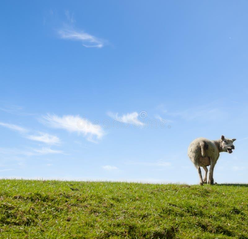 Immagine della primavera di un urlo delle pecore della madre immagine stock