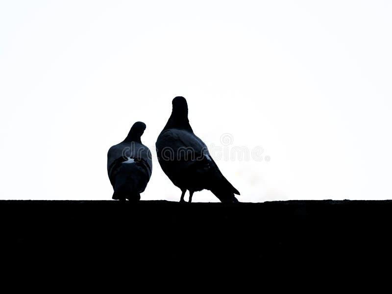 Immagine delle siluette dalle colombe con fondo bianco immagine stock libera da diritti
