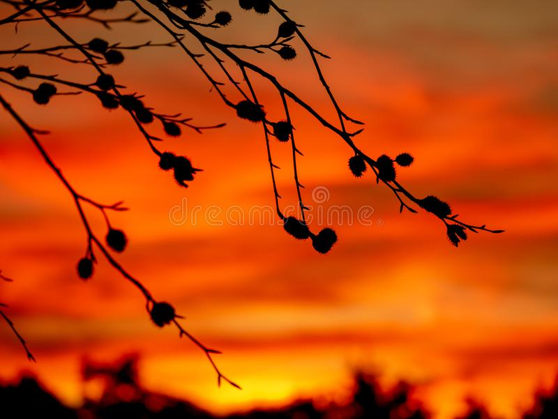 Immagine delle siluette delle faggine durante il tramonto fotografia stock