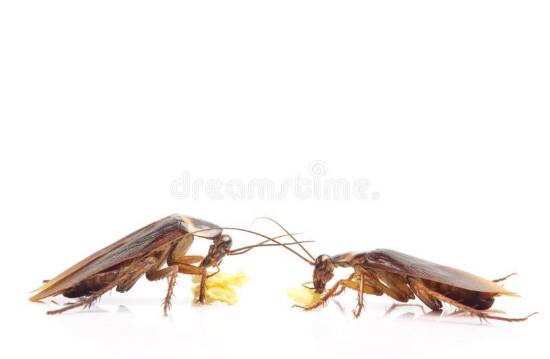 Immagine di azione delle blatte, blatte isolate su fondo bianco fotografia stock libera da diritti