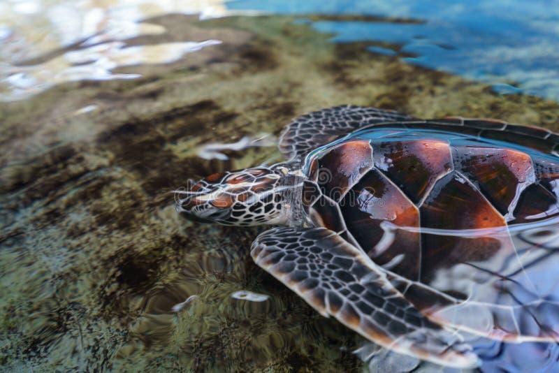 Immagine di bella tartaruga di mare subacquea fotografia stock libera da diritti