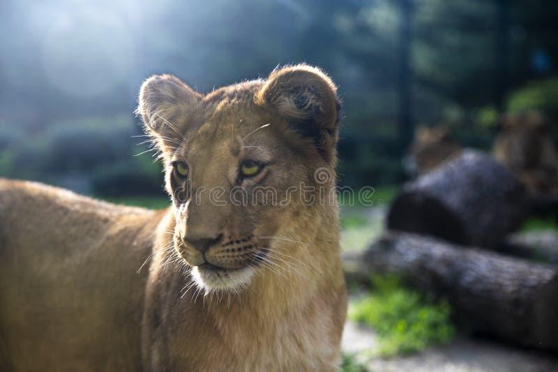 Immagine di bello cucciolo di leone con gli occhi di stupore immagine stock libera da diritti
