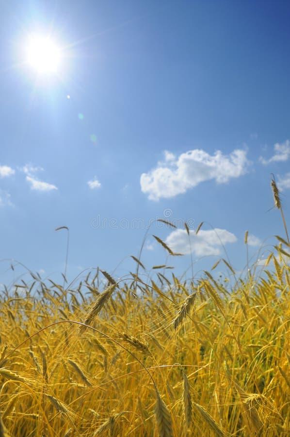 Immagine di paesaggio di un campo di frumento immagini stock libere da diritti