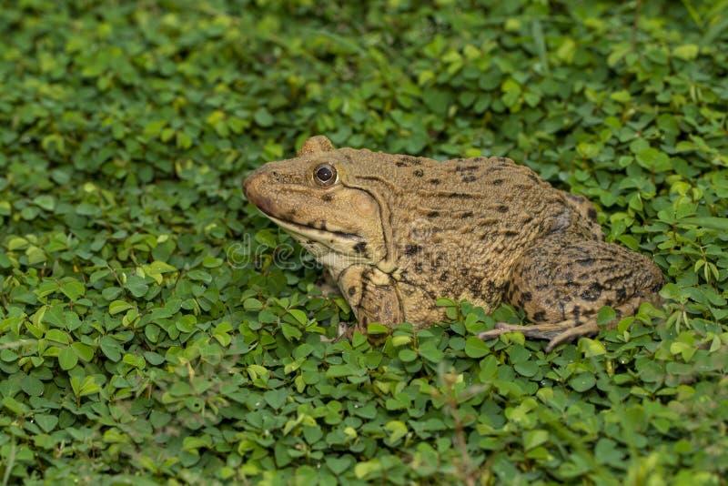 Immagine di rana cinese commestibile, rana corrotta dell'Asia orientale, rana taiwanese Hoplobatrachus rugulosus sull'erba Anfibi immagini stock