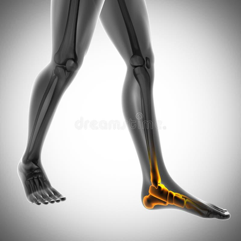 Immagine di ricerca della radiografia delle ossa dell'essere umano illustrazione di stock