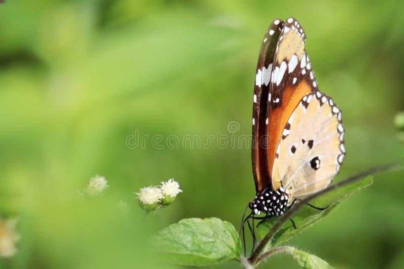 Immagine di riserva libera della bella sovranità della farfalla fotografia stock