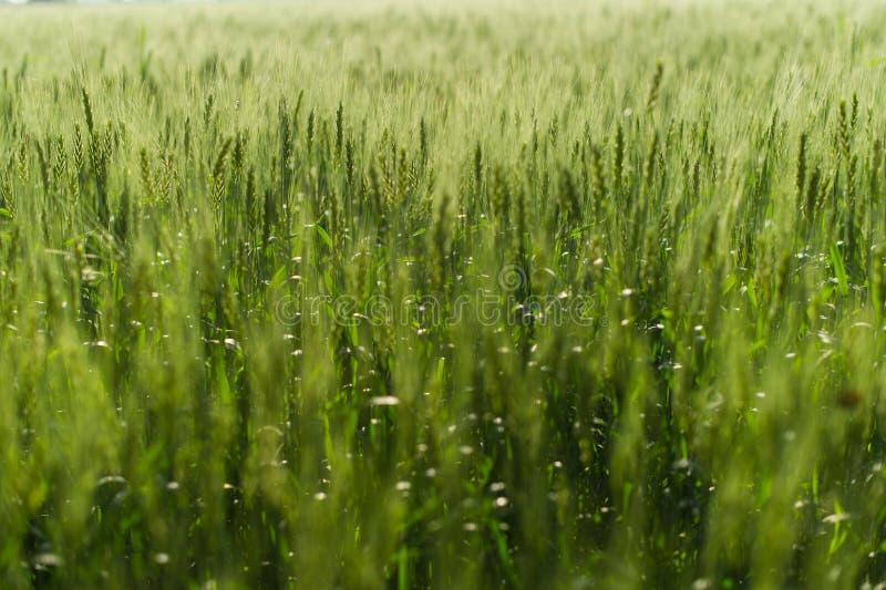 immagine di sfondo del campo verde dell'orzo fotografia stock