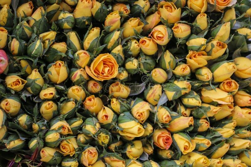 Immagine di sfondo della rosa di giallo fotografia stock libera da diritti