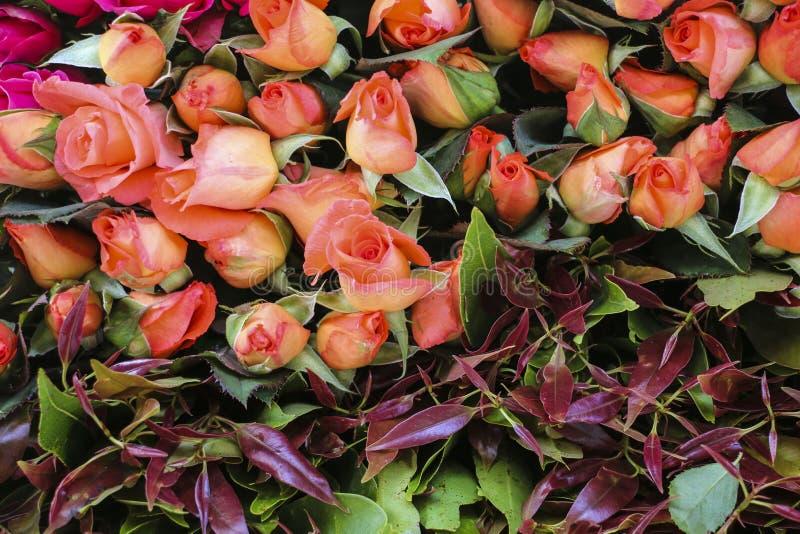 Immagine di sfondo delle rose rosa fotografie stock