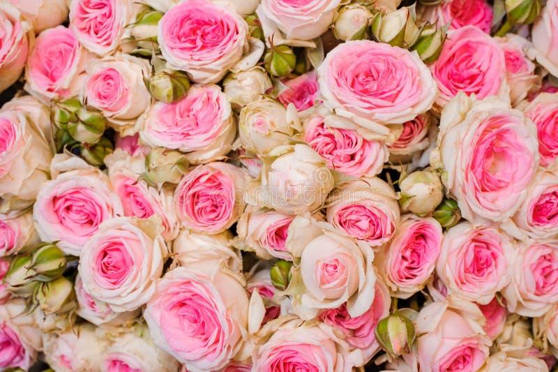 Immagine di sfondo delle rose rosa-chiaro fresche Struttura del fiore immagine stock