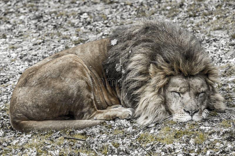 Immagine di un leone che dorme pacificamente fotografia stock