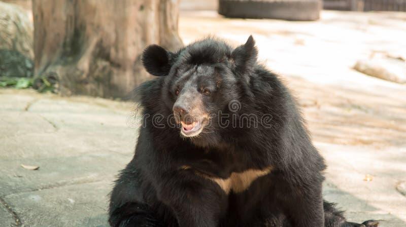 Immagine di un orso nero immagini stock