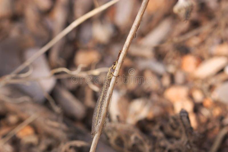 Immagine di una formica del leone nel suo ambiente fra le erbe del suolo immagine stock