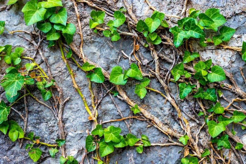 Immagine di una parete di pietra, foglie verdi, edera su una parete di pietra grigia immagine stock