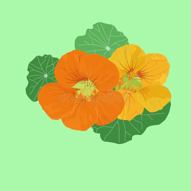 Immagine di vettore dei fiori del giardino del nasturzio, fiori giallo arancio royalty illustrazione gratis