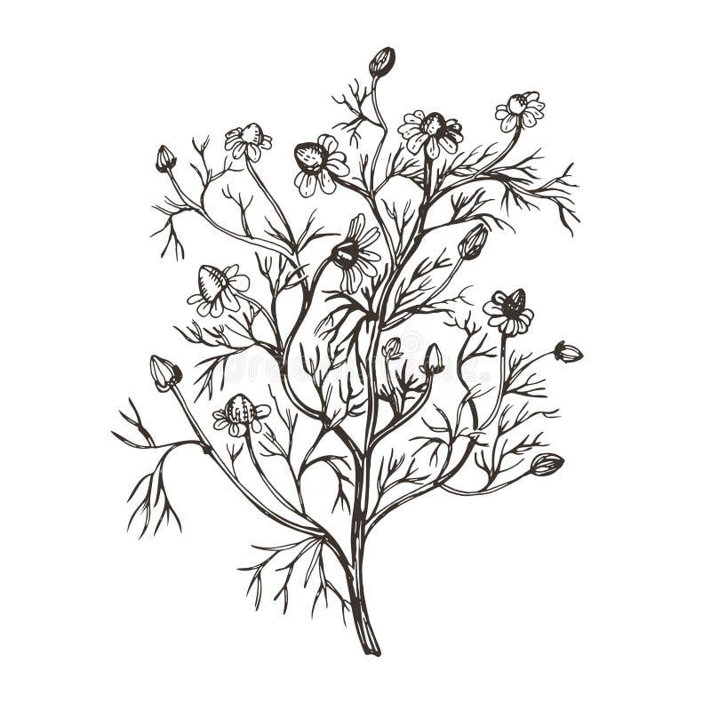 Immagine di vettore della farmacia della camomilla Illustrazione nello stile d'annata royalty illustrazione gratis