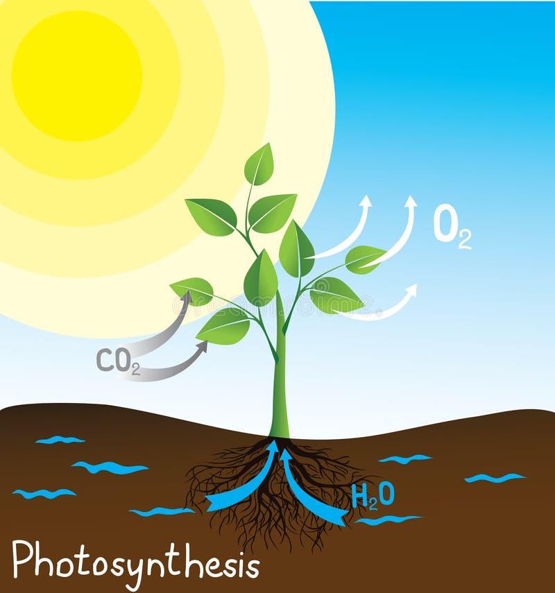 Immagine di vettore di fotosintesi royalty illustrazione gratis