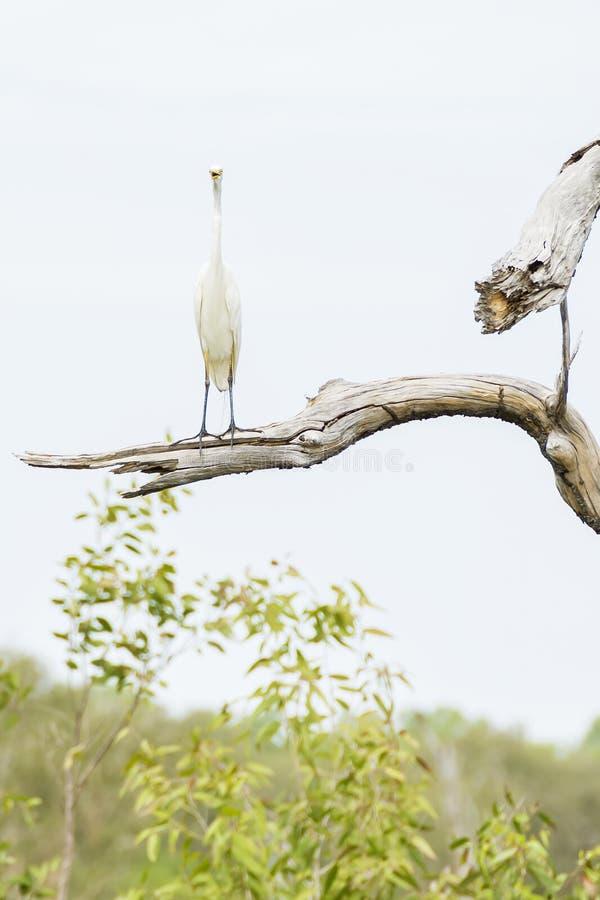Immagine divertente dell'uccello dell'egretta su un ramo di albero alto che guarda in camera, parco di Kakadu, Australia fotografia stock