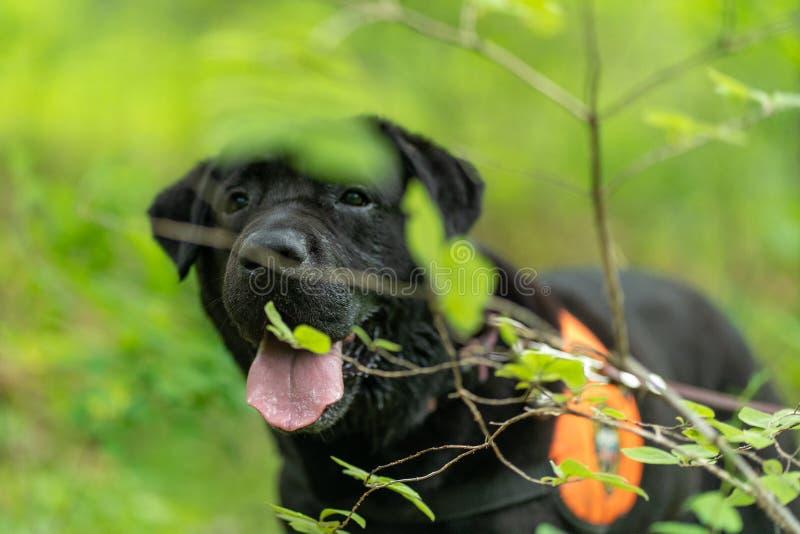 Immagine editoriale Salvaguardia nera labrador su un addestramento di salvataggio nella foresta fotografia stock libera da diritti