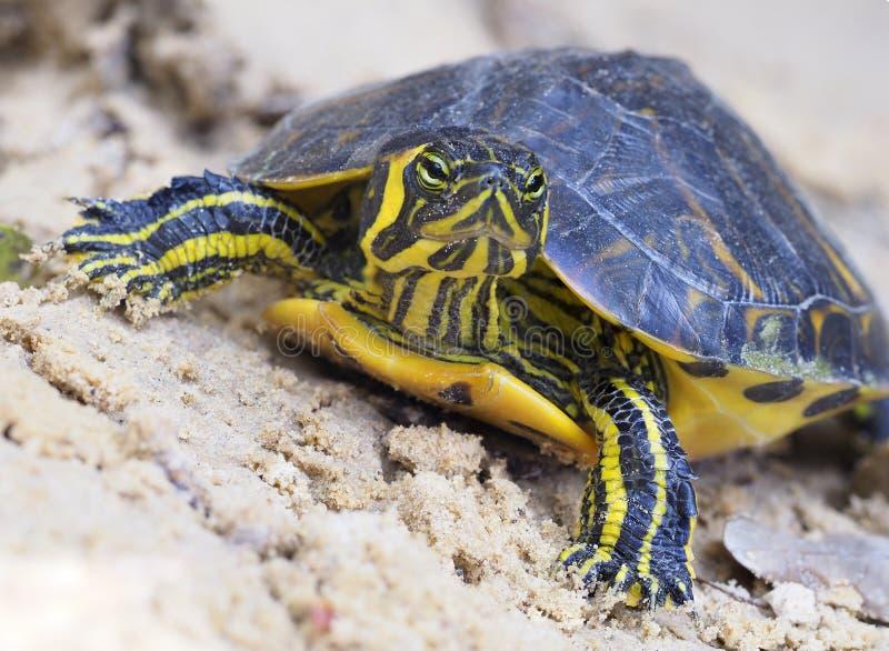 Immagine impilata fuoco del primo piano di una tartaruga comune acerba del Cooter immagine stock