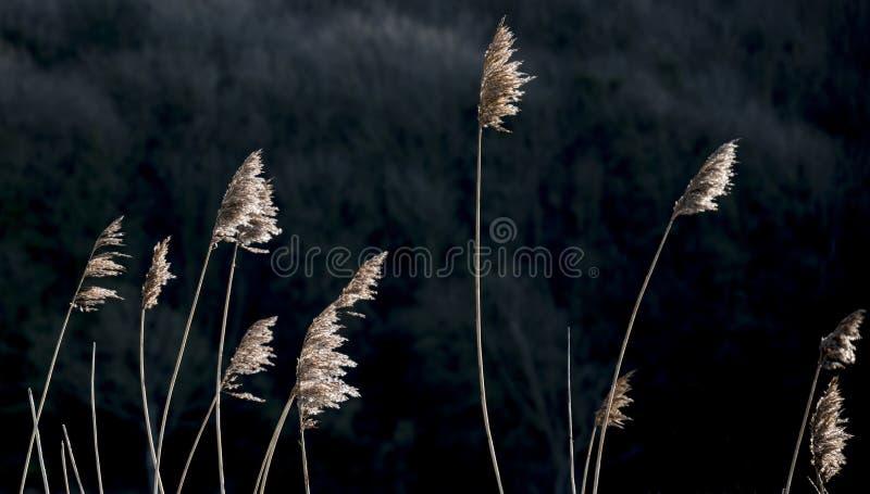 Immagine intima dettagliata del paesaggio delle canne sulla riva in sunli fotografia stock