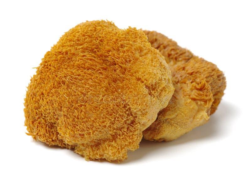 Immagine isolata dei funghi capi della scimmia anche conosciuti come Mane Mushroom del leone, fungo barbuto del dente, fungo dell fotografie stock