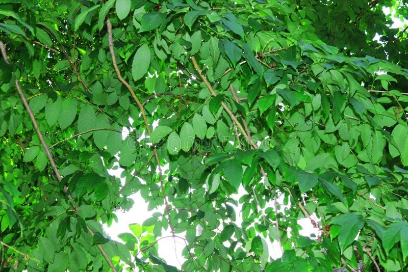 Immagine naturale della foglia verde Foresta ed albero verde della giungla Bello paesaggio naturale Giungle tropicali profonde Au fotografie stock libere da diritti