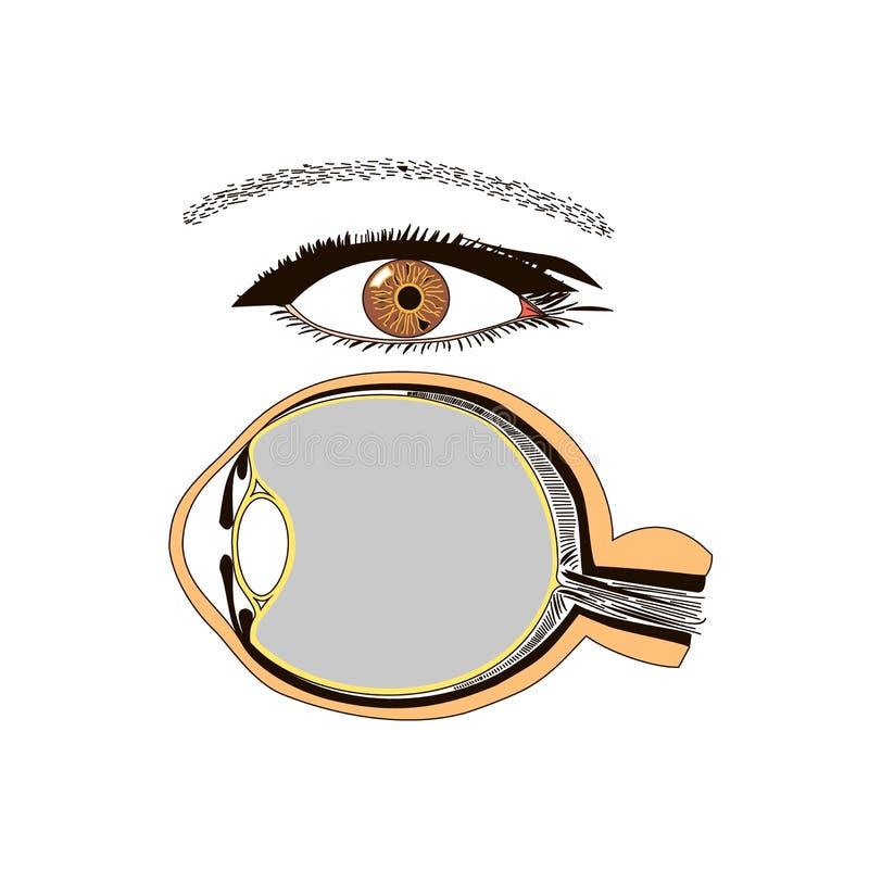 Immagine piana di vettore isolata anatomia dell'occhio illustrazione di stock