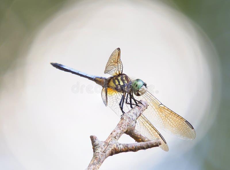 Immagine posteriore di Lit impilata fuoco del primo piano di una libellula blu di Dasher fotografie stock