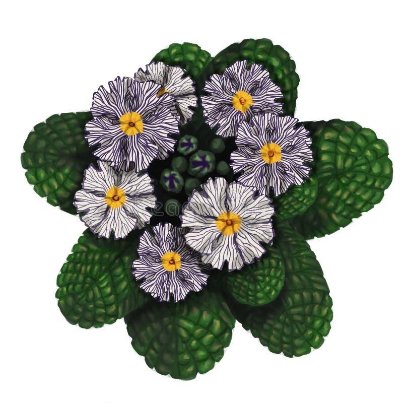 Immagine realistica dei fiori disegnati a mano della primaverina fotografie stock