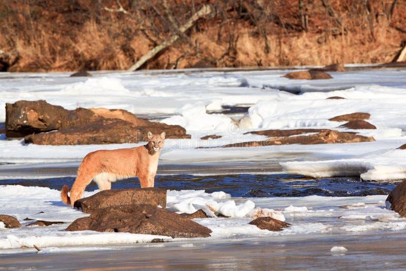 Immagine scenica del paesaggio del leone di montagna tramite la corrente fotografia stock libera da diritti