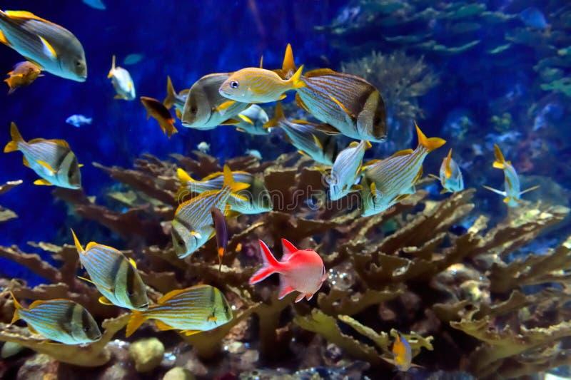 Immagine subacquea dei pesci tropicali immagini stock