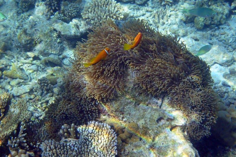 Immagine subacquea del pesce di anemone con gli anemoni di mare fotografie stock libere da diritti
