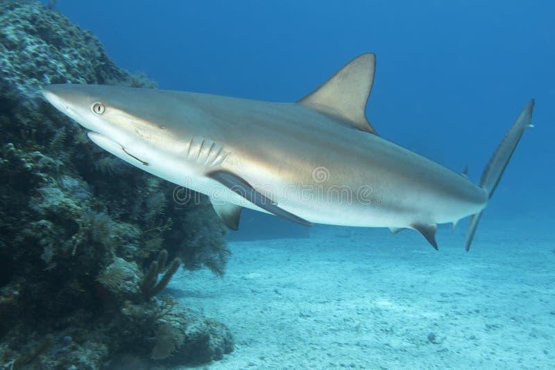 Immagine subacquea dello squalo della scogliera con l'amo fotografie stock libere da diritti