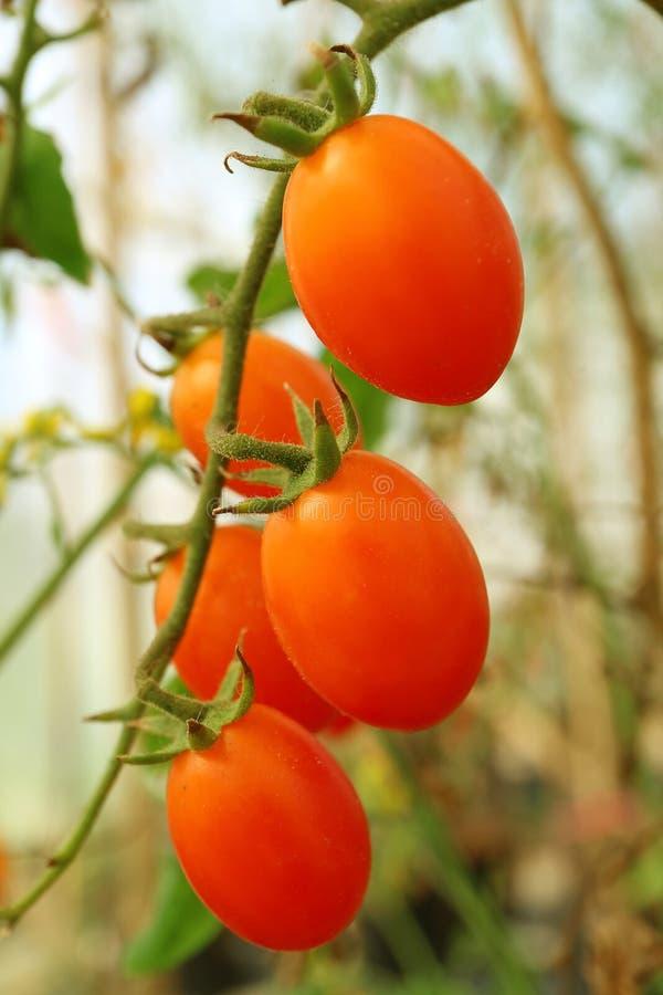 Immagine verticale di un mazzo di pomodori vibranti dell'uva rossa di forma ovale che maturano sul suo albero fotografia stock libera da diritti