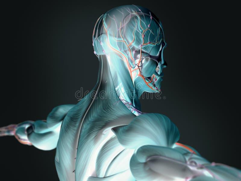 immagini 3D di anatomia umana immagini stock