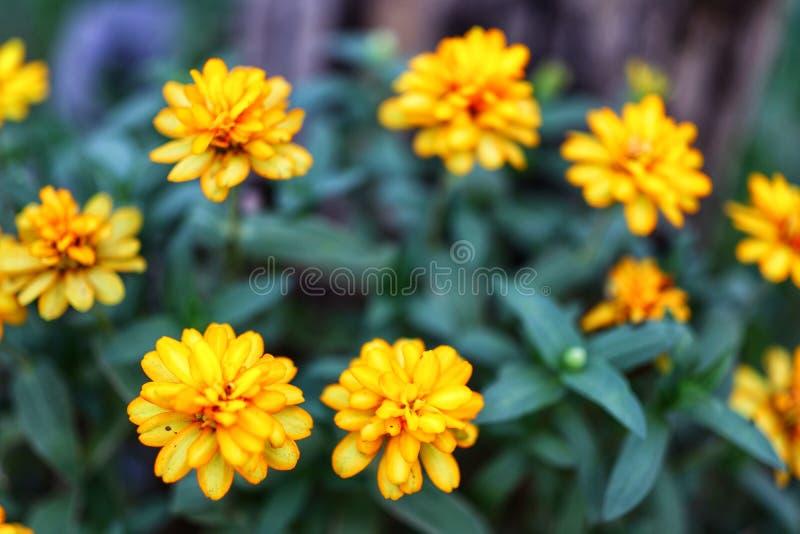 Immagini del primo piano di bei fiori gialli, fondo verde scuro della natura delle foglie, tempo fresco fotografia stock