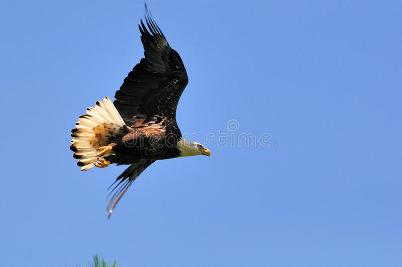Download Immature American Bald Eagle In Flight Stock Photo - Image: 15864772