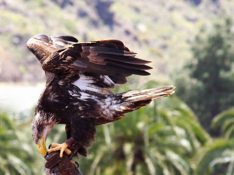 Immature American eagle stock photos